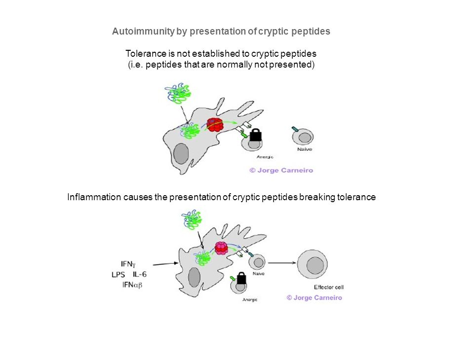 Autoimmunity by presentation of cryptic peptides
