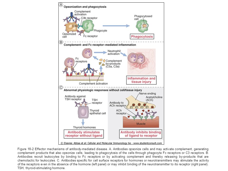 Figure 18-2 Effector mechanisms of antibody-mediated disease. A