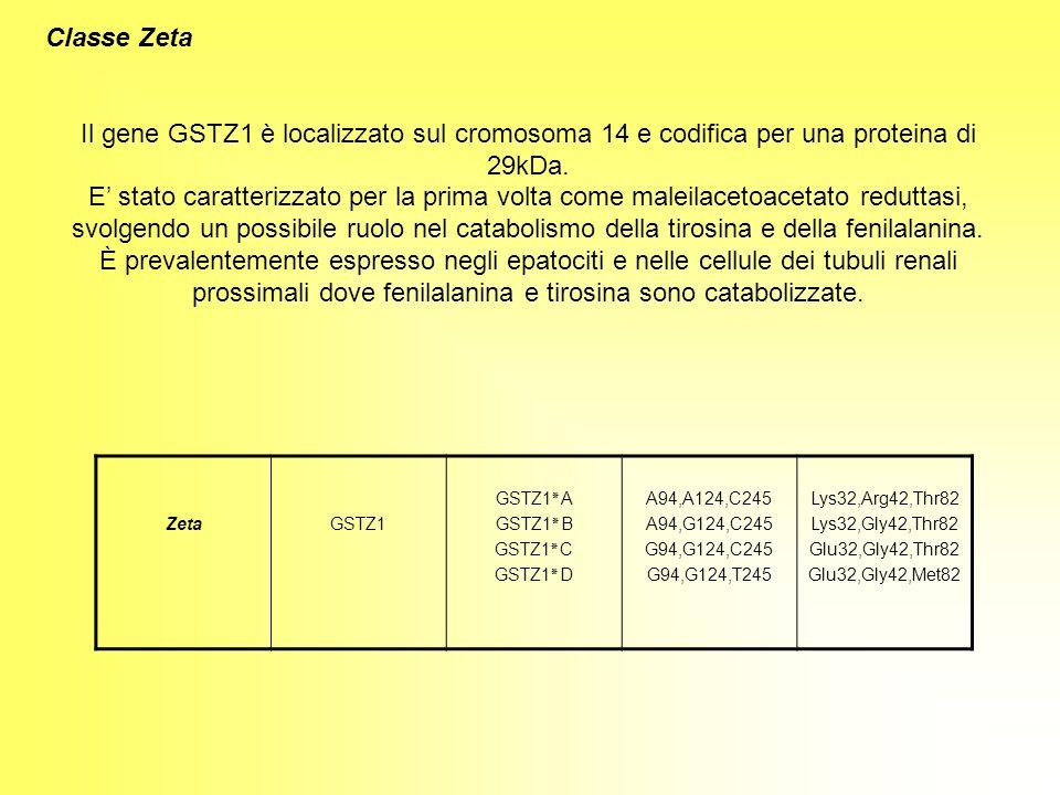Classe Zeta Il gene GSTZ1 è localizzato sul cromosoma 14 e codifica per una proteina di 29kDa.