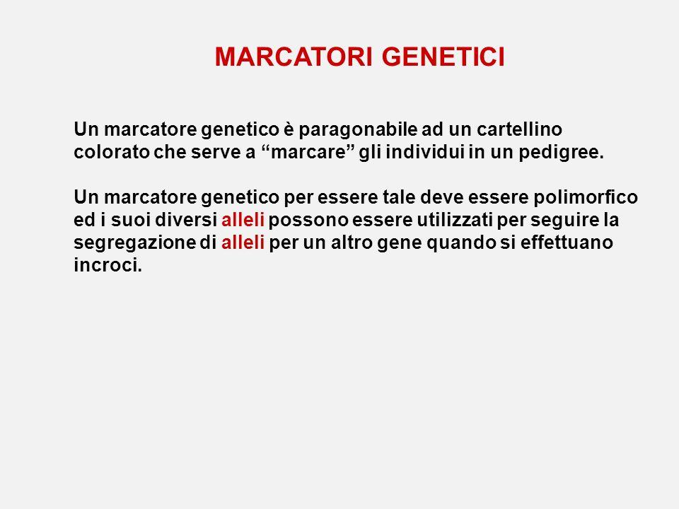 MARCATORI GENETICI Un marcatore genetico è paragonabile ad un cartellino colorato che serve a marcare gli individui in un pedigree.