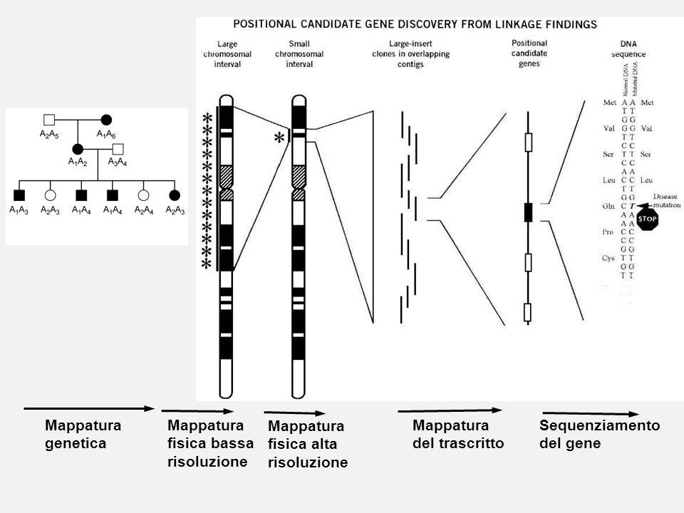 Mappatura genetica. Mappatura. fisica bassa. risoluzione. Mappatura. fisica alta. risoluzione.