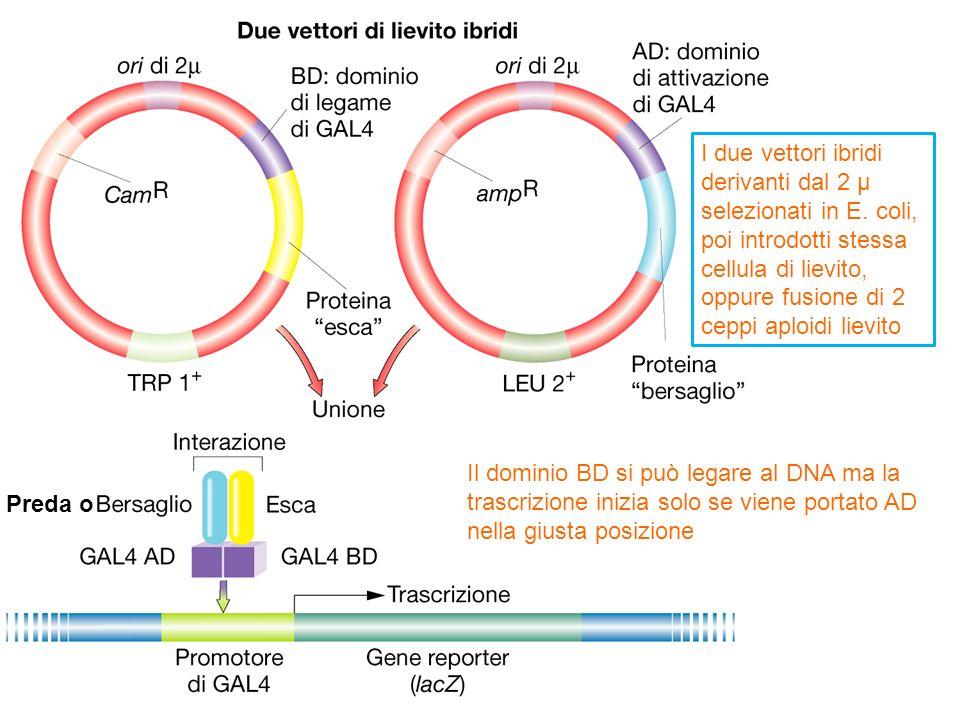 I due vettori ibridi derivanti dal 2 µ. selezionati in E. coli, poi introdotti stessa. cellula di lievito,
