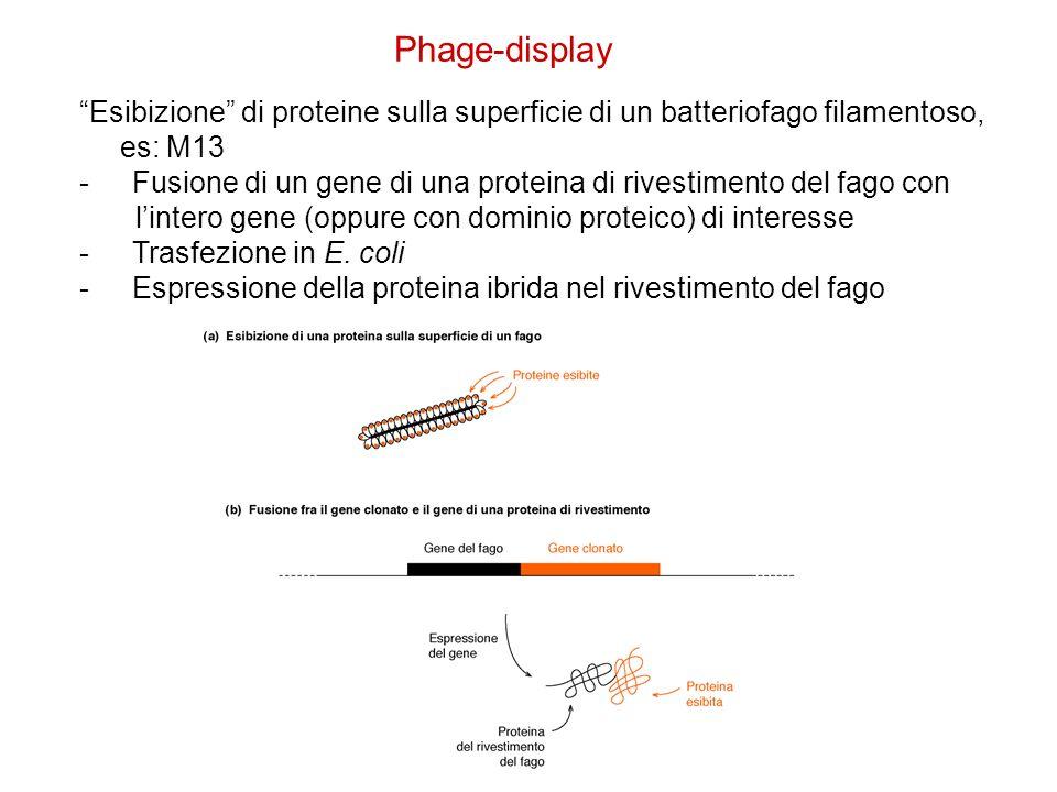 Phage-display Esibizione di proteine sulla superficie di un batteriofago filamentoso, es: M13.