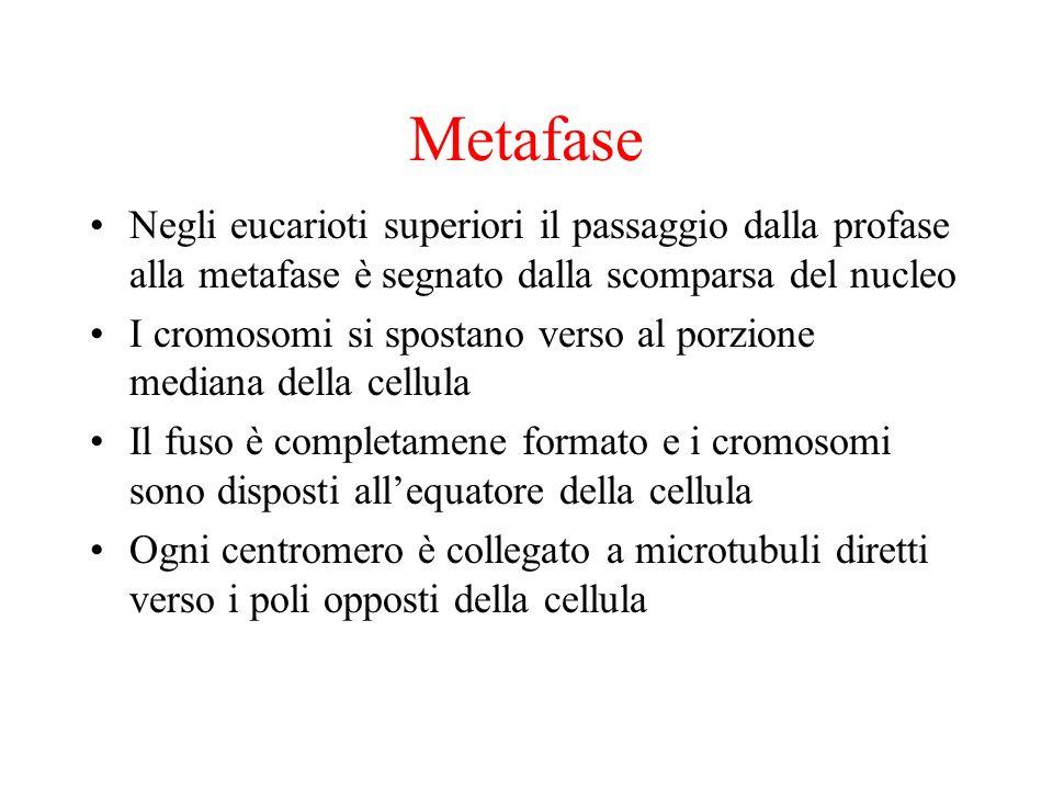 Metafase Negli eucarioti superiori il passaggio dalla profase alla metafase è segnato dalla scomparsa del nucleo.