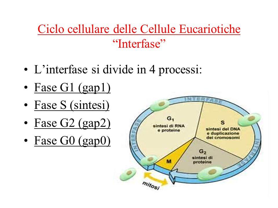 Ciclo cellulare delle Cellule Eucariotiche Interfase