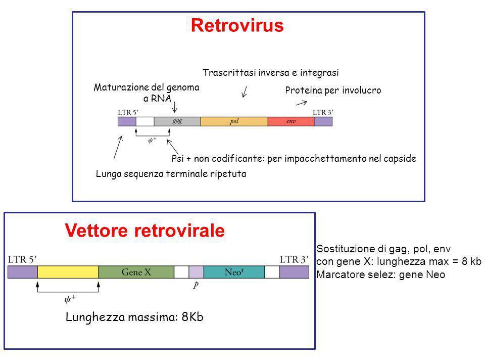 Retrovirus Vettore retrovirale Lunghezza massima: 8Kb