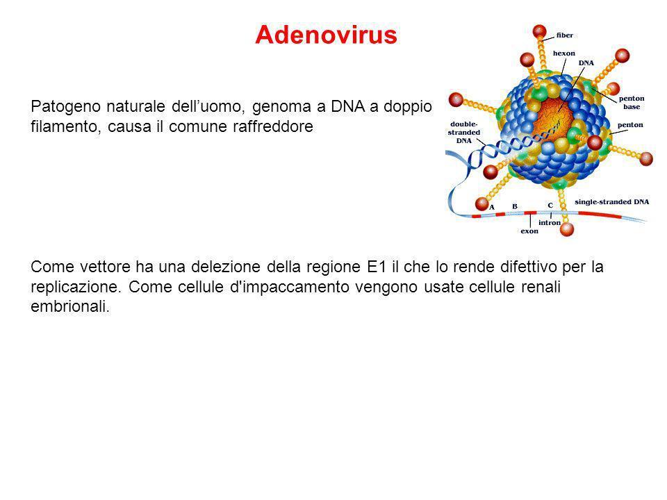 Adenovirus Patogeno naturale dell'uomo, genoma a DNA a doppio