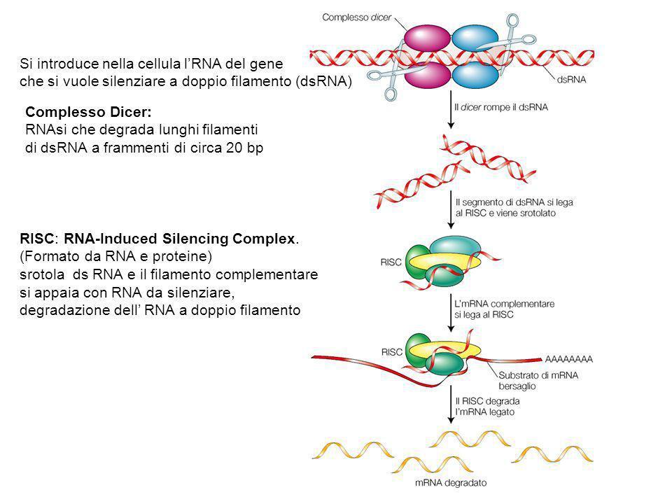 Si introduce nella cellula l'RNA del gene