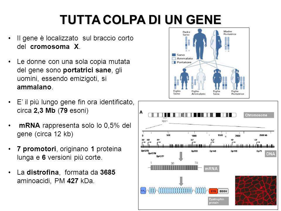TUTTA COLPA DI UN GENE Il gene è localizzato sul braccio corto del cromosoma X.