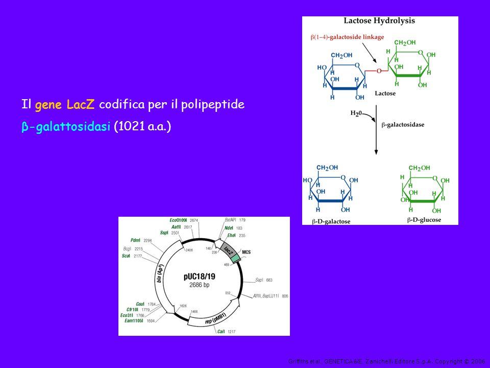 Il gene LacZ codifica per il polipeptide β-galattosidasi (1021 a.a.)