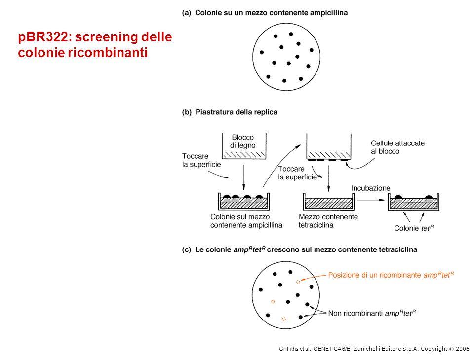 pBR322: screening delle colonie ricombinanti