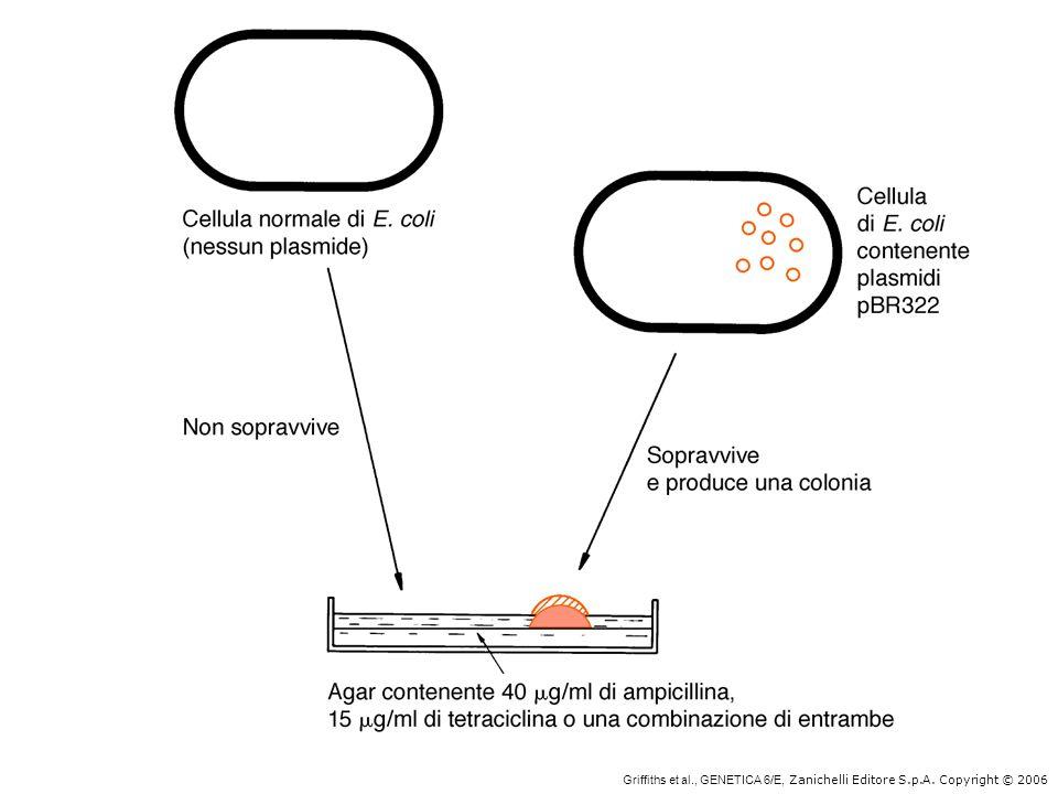Griffiths et al. , GENETICA 6/E, Zanichelli Editore S. p. A