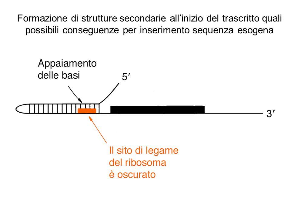 Formazione di strutture secondarie all'inizio del trascritto quali possibili conseguenze per inserimento sequenza esogena