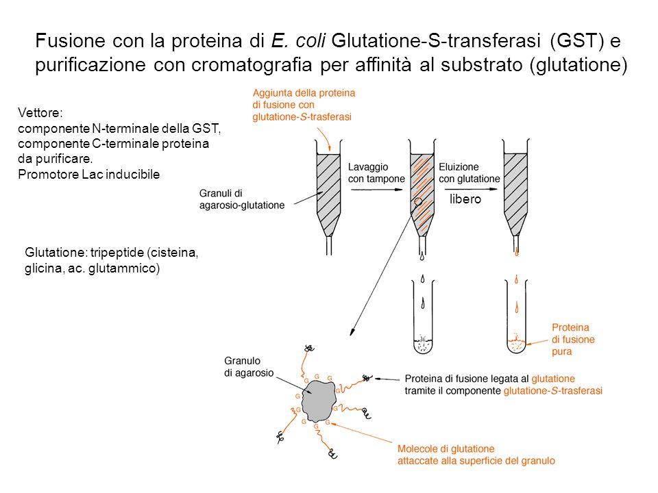 Fusione con la proteina di E
