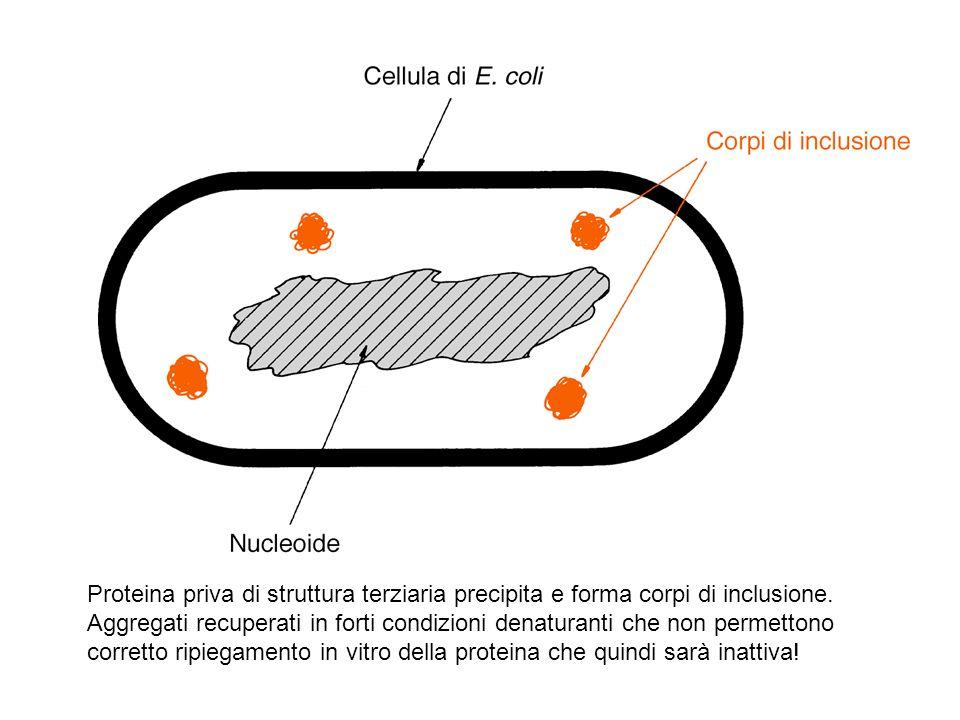 Proteina priva di struttura terziaria precipita e forma corpi di inclusione.