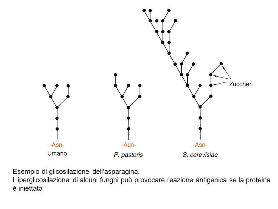 Esempio di glicosilazione dell'asparagina.