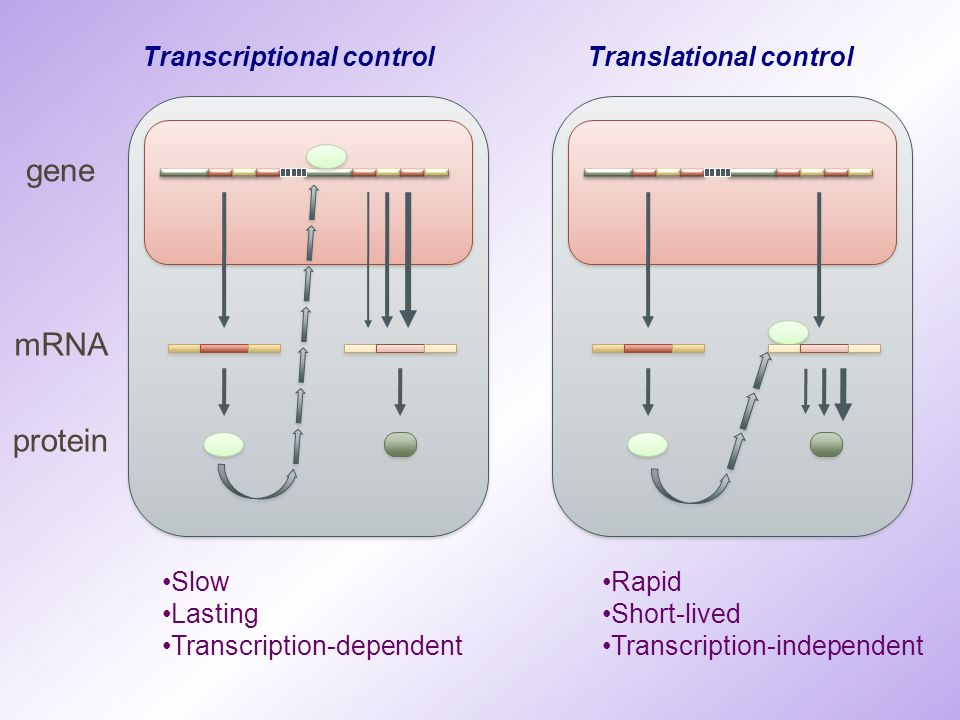 Transcriptional control Translational control