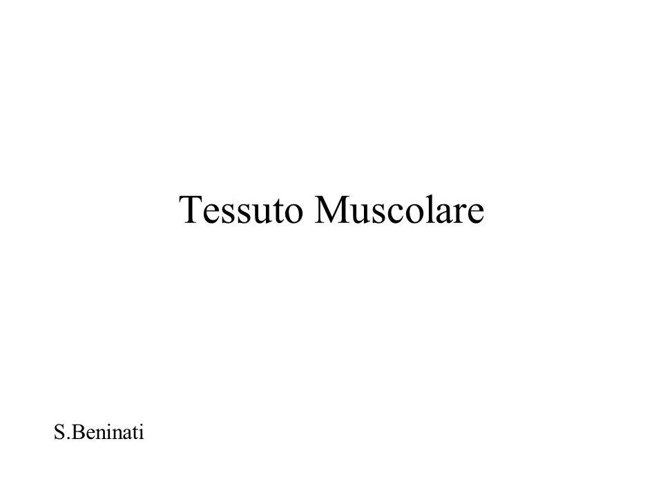 Tessuto Muscolare S.Beninati