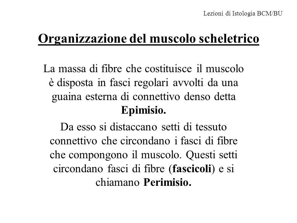Organizzazione del muscolo scheletrico