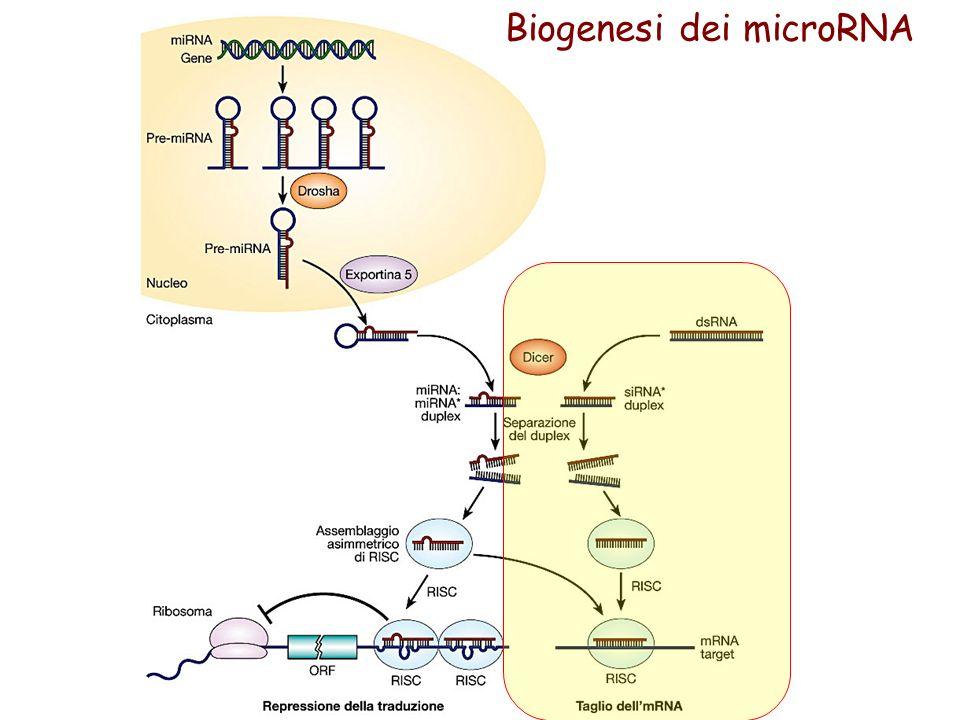 Biogenesi dei microRNA