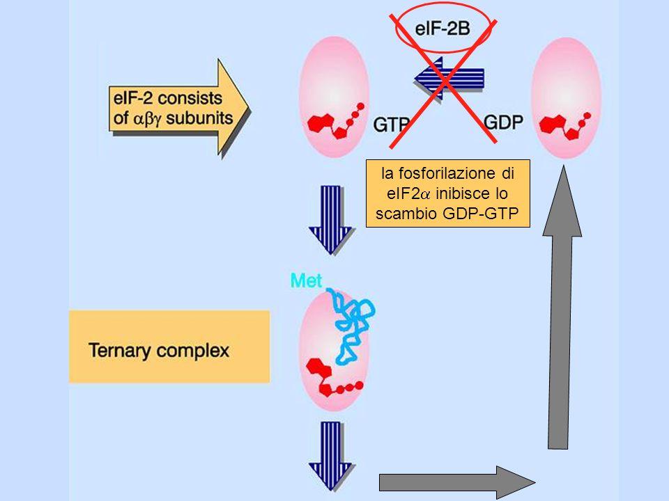 la fosforilazione di eIF2a inibisce lo scambio GDP-GTP