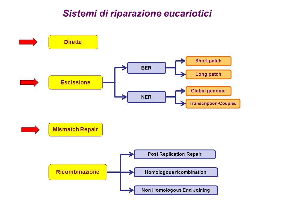 Sistemi di riparazione eucariotici