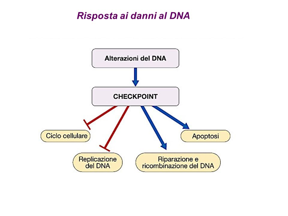 Risposta ai danni al DNA
