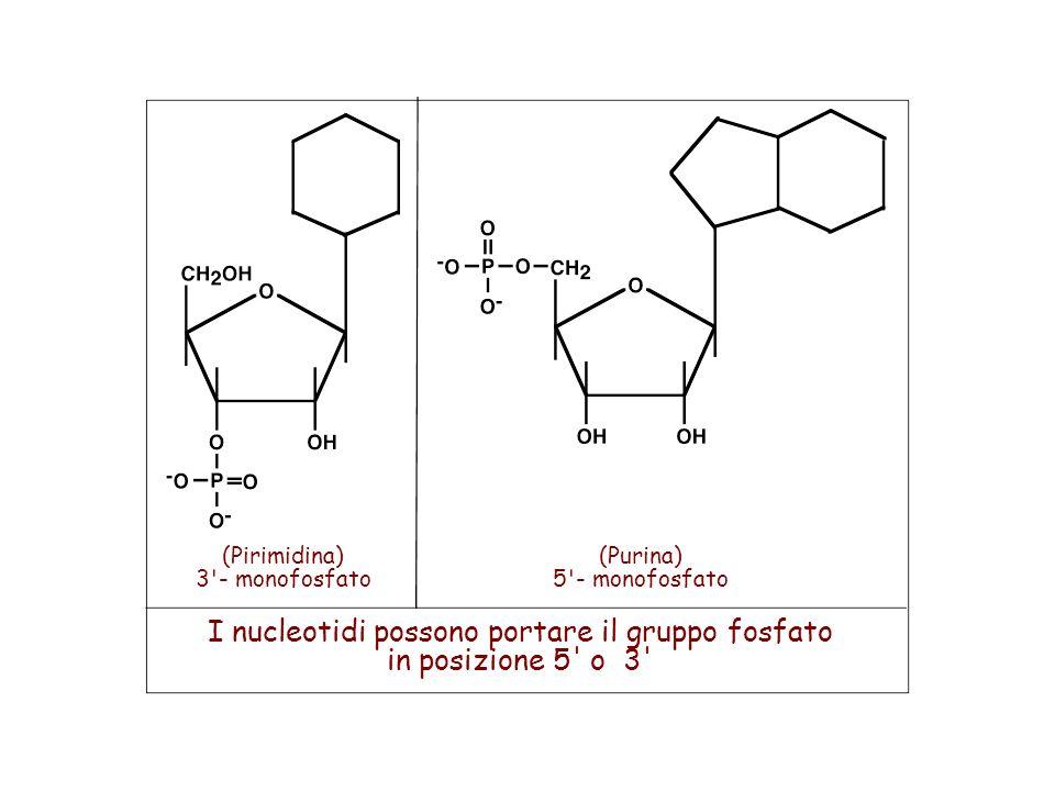 I nucleotidi possono portare il gruppo fosfato