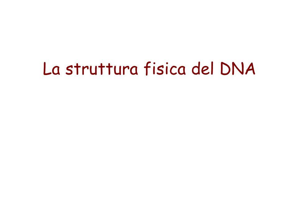 La struttura fisica del DNA