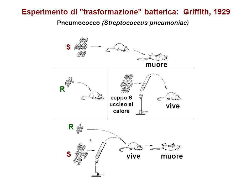 Esperimento di trasformazione batterica: Griffith, 1929
