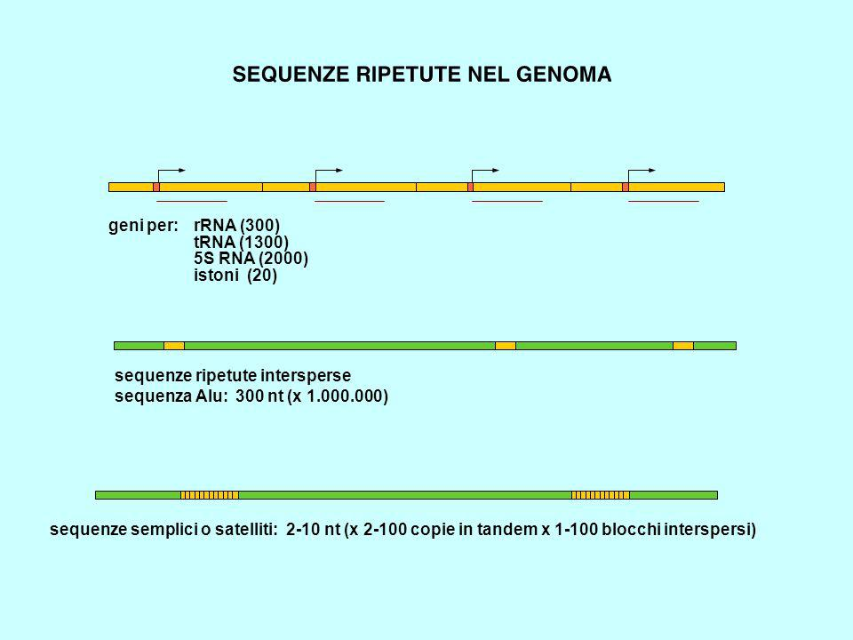 geni per: rRNA (300) tRNA (1300) 5S RNA (2000) istoni (20) sequenze ripetute intersperse. sequenza Alu: 300 nt (x 1.000.000)