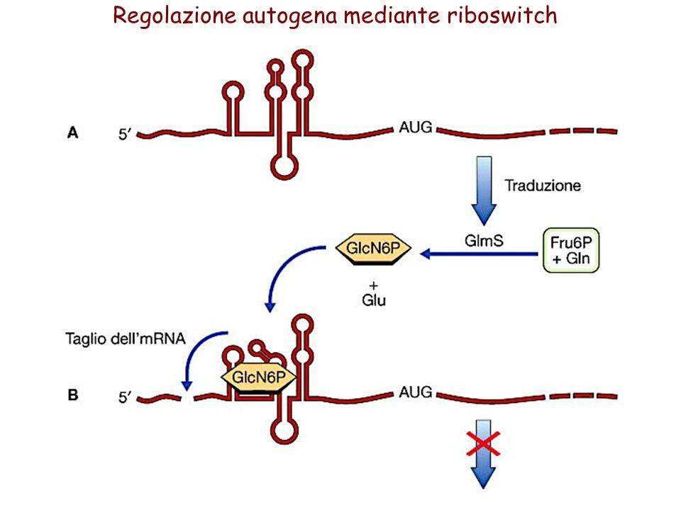 Regolazione autogena mediante riboswitch