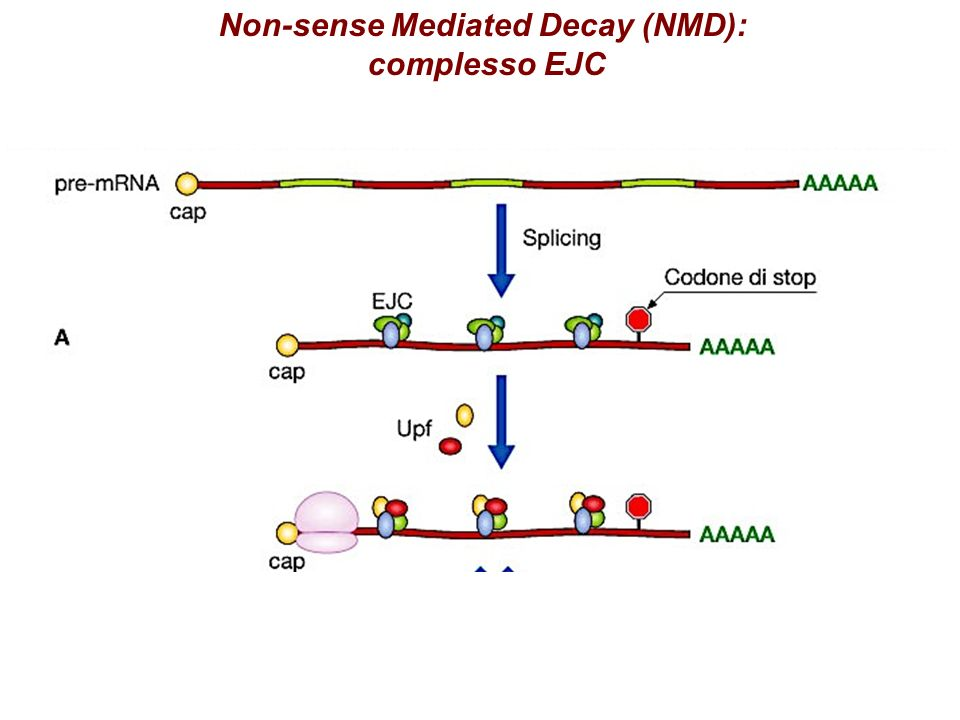 Non-sense Mediated Decay (NMD):