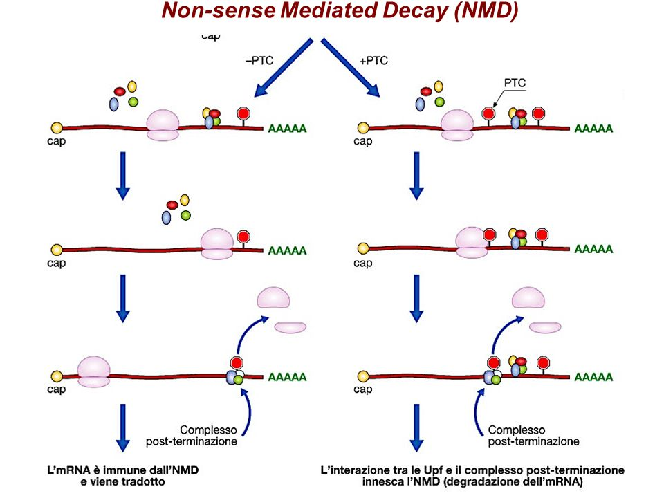 Non-sense Mediated Decay (NMD)