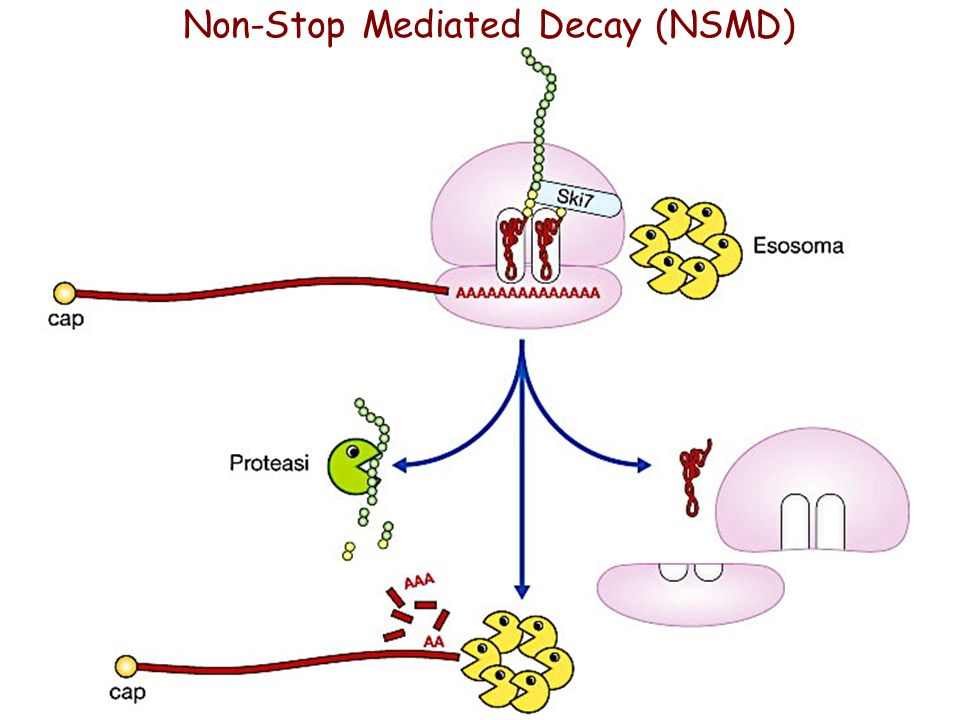 Non-Stop Mediated Decay (NSMD)