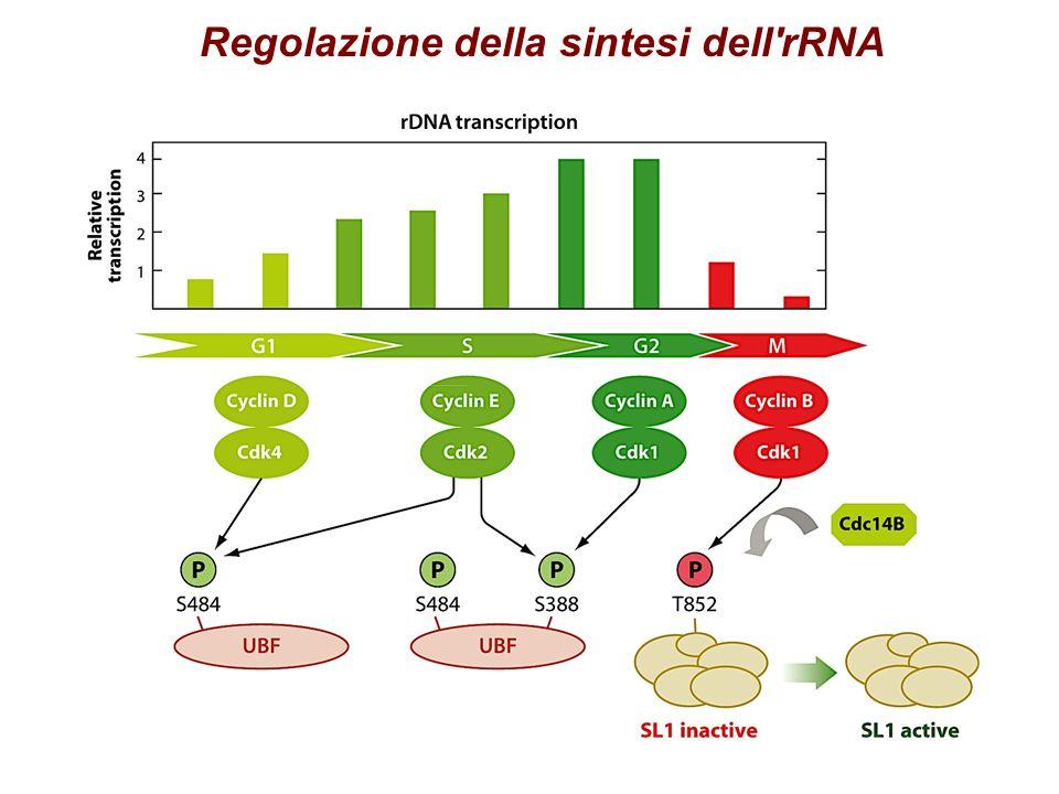 Regolazione della sintesi dell rRNA