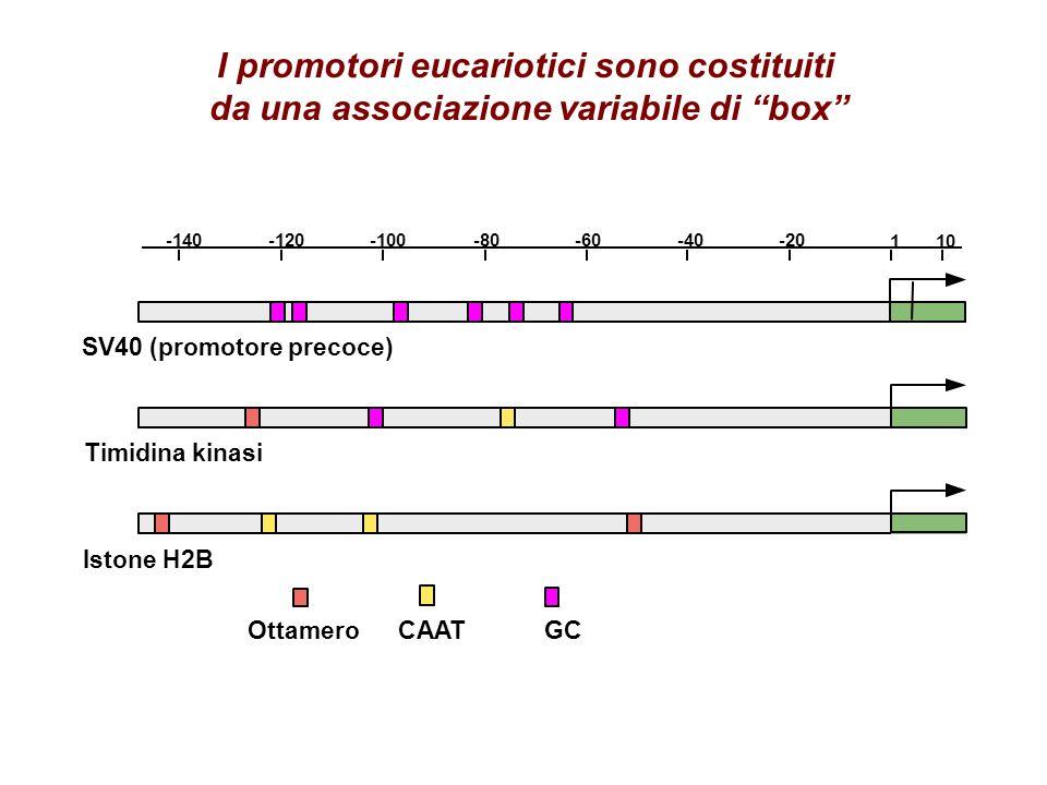 I promotori eucariotici sono costituiti