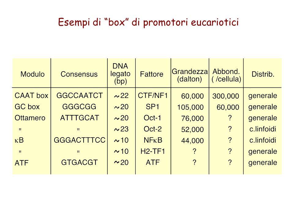 Esempi di box di promotori eucariotici