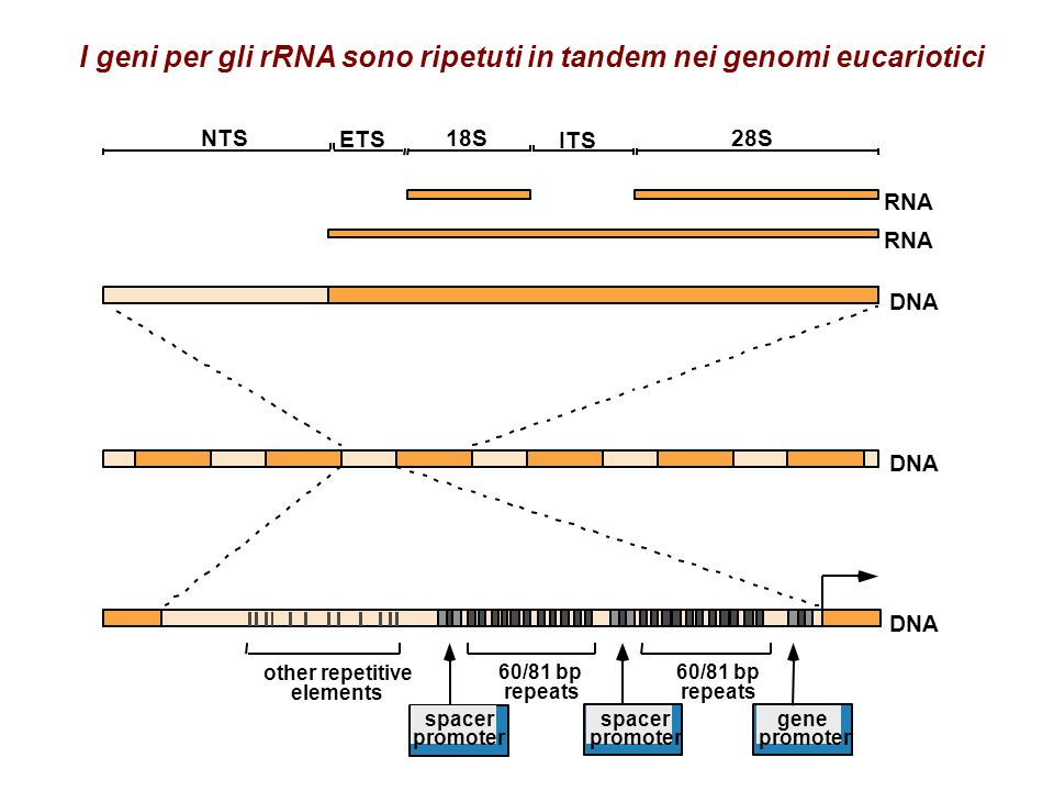 I geni per gli rRNA sono ripetuti in tandem nei genomi eucariotici