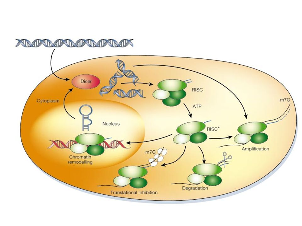 Figure 5 A model for the mechanism of RNAi