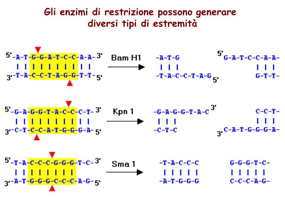 Gli enzimi di restrizione possono generare diversi tipi di estremità