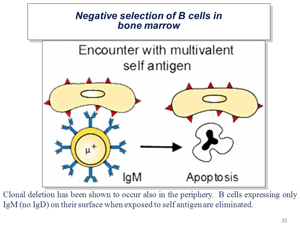 Negative selection of B cells in bone marrow