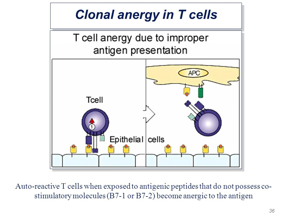 Clonal anergy in T cells
