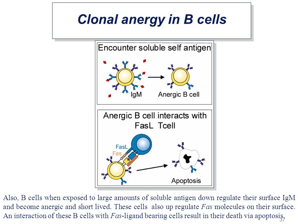 Clonal anergy in B cells