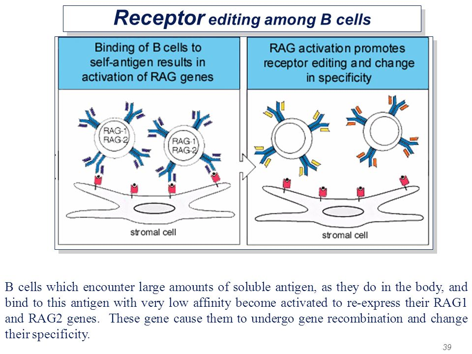 Receptor editing among B cells