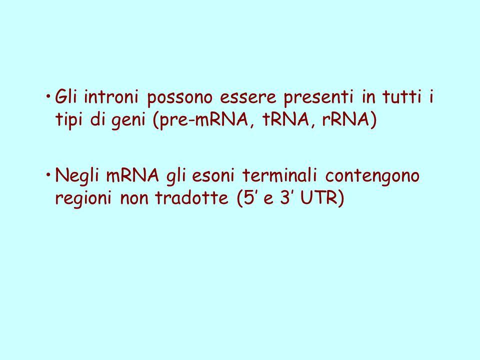 Gli introni possono essere presenti in tutti i tipi di geni (pre-mRNA, tRNA, rRNA)