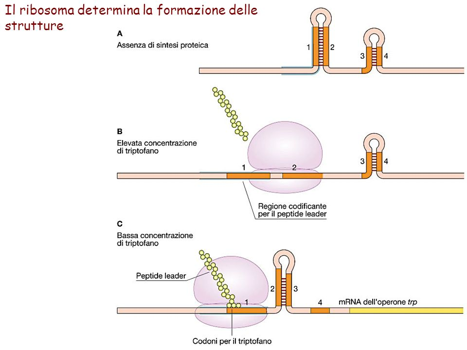 Il ribosoma determina la formazione delle strutture