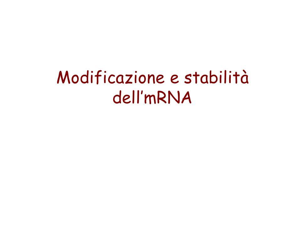 Modificazione e stabilità dell'mRNA