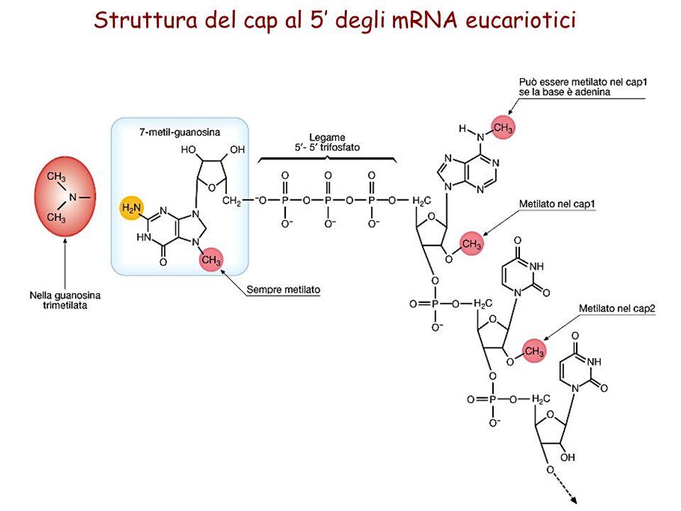 Struttura del cap al 5' degli mRNA eucariotici
