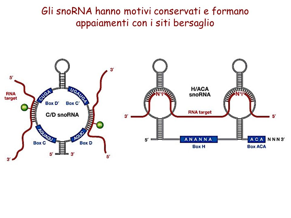 Gli snoRNA hanno motivi conservati e formano appaiamenti con i siti bersaglio